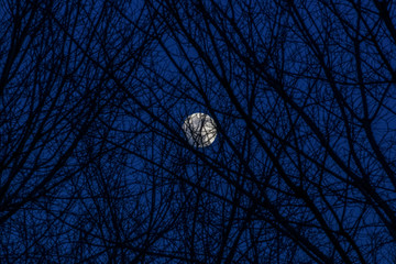 Bright moon behind some bare tree branches.Night view of almost full moon illuminating behind naked tree branches.