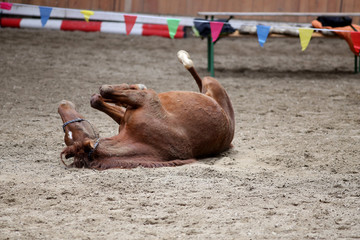 Saddle horse lay on back and having fun to roll in sand in an empty riding hall