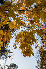 maple tree branches with vivid colored leaves against blue sky background,