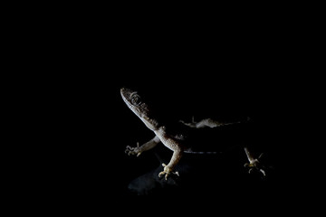 Lizard on black background.Macro photo