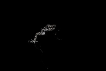 Lizard on black background.Macro photo
