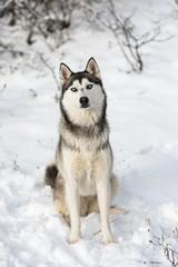 A siberian husky sitting on snow