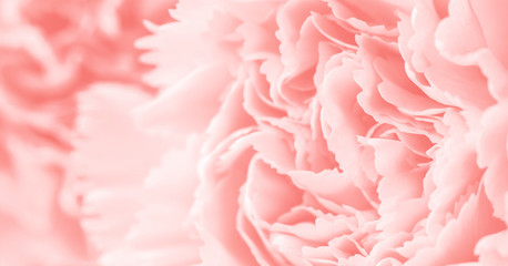 Wall Mural - Macro carnation flower soft background coral color style