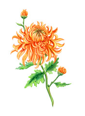 Orange chrysanthemum, watercolor painting on white background, isolated with clipping path.