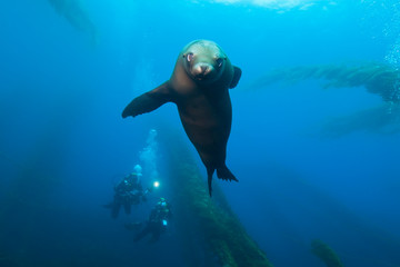 Baby Seal playing around in giant kelp forest with scuba diver in the background