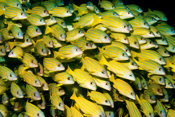 Close-up of a shoal of Blue Striped Snappers