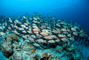 Shoal of Humpback Snappers above colorful reef