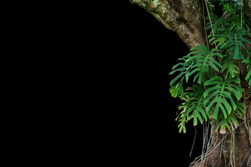 Jungle tree trunk with climbing Monstera (Monstera deliciosa) the tropical foliage plant growing in wild isolated on black background.