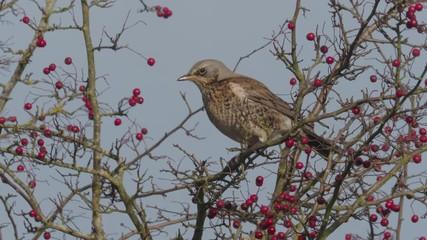 Fotoväggar - Fieldfare, Turdus pilaris, single bird with hawthorn berries, Warwickshire, December 2018