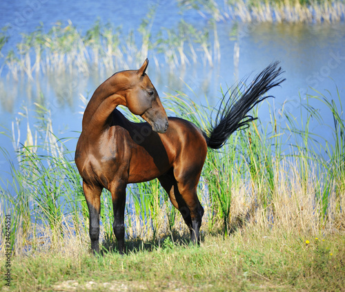 Bay Akhal Teke Stallion Stands Near Water And Looks