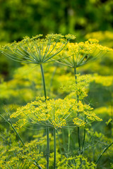 Fresh dill growing in the field in summer