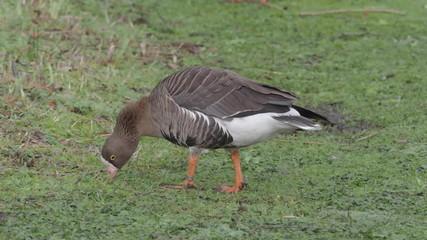 Fotoväggar - Lesser white-fronted goose, Anser erythropus, single bird on grass, captive
