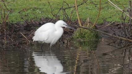 Fotoväggar - Little egret, Egretta garzetta,  Single bird in water, Lancashire,  January 2019