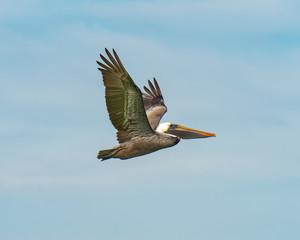 Pelican climbing