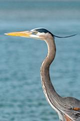 Great blue heron's plume