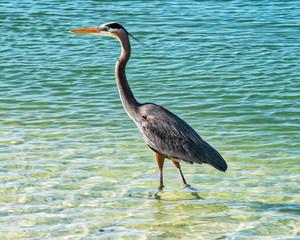 Great blue heron walking in the water