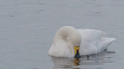 Fotoväggar - Whooper swan, Cygnus cygnus, single bird on water,   Norfolk, February 2018