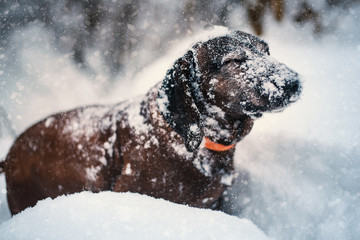 Hunting dog in the snow. Bavarian breed dog wearing a orange collar. Brown dog covered by snow. Profile portrait.