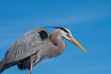 Great Blue Heron portrait Wall mural