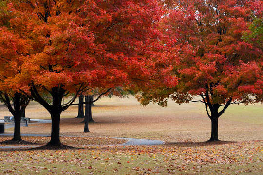Autumn Red Leaves in Piedmont Park Atlanta