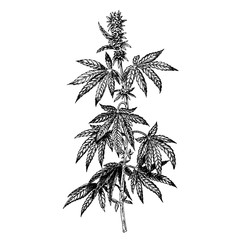 Hand drawn hemp plant with cones. Cannabis branch with leaves. Vector sketch of marijuana twig