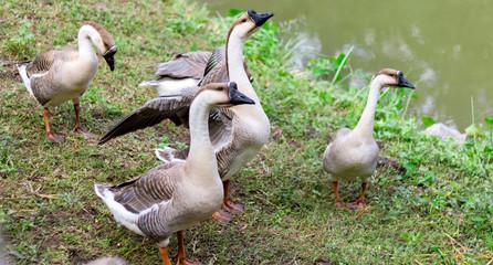 Family of ducks in garden
