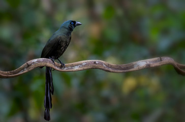 Racket-tailed Treepie on branch in nature