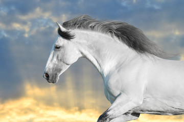Wall Mural - White horse in motion with sky behind