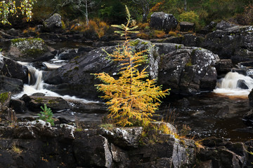 Yellow Pine Tree by the Falls of Rogie in Highlands Scotland