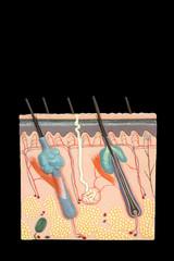 Model human skin tissue isolated on black background