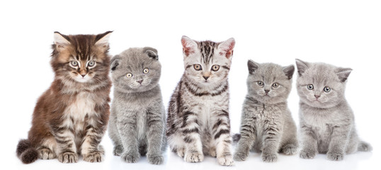 large group of  cats sitting in front view. isolated on white background