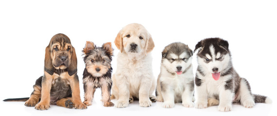 large group of  dogs sitting in front view. isolated on white background.