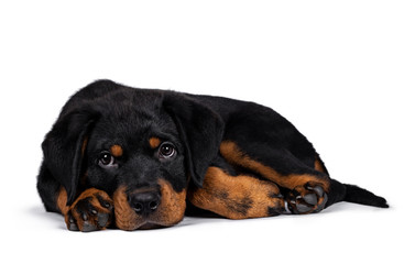 Cute purebred Rottweiler dog pup laying down side ways, head down on paws. Droopy face looking with sweet eyes beside camera. Isolated on white background.