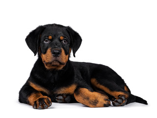 Cute purebred Rottweiler dog pup laying down side ways, looking with sweet eyes beside camera. Isolated on white background.