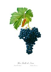 Vintage illustration of black grape branch.