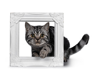 Cute dark tabby British Shorthair cat kitten, about to step throught white photo frame looking at camera. Tail beside frame and one paw in the air. Isolated on white background.