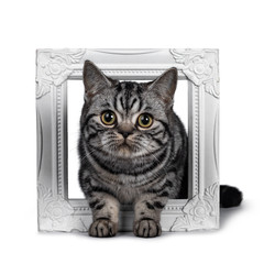 Cute dark tabby British Shorthair cat kitten, laying throught white photo frame looking at camera. Tail beside frame. Isolated on white background.