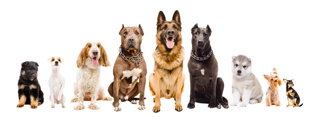 Group of dogs of different breeds sitting isolated on white background