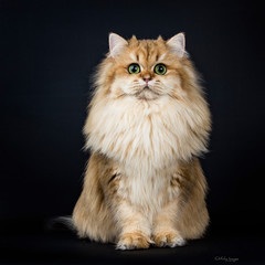 Amazing full coated fluffy golden British Longhair cat kitten sitting facing front. looking at camera with big green eyes. Isolated on black background.