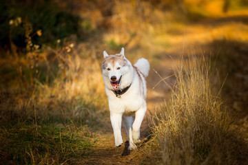 Image of funny and happy dog breed Siberian husky running on the path in the bright golden autumn forest