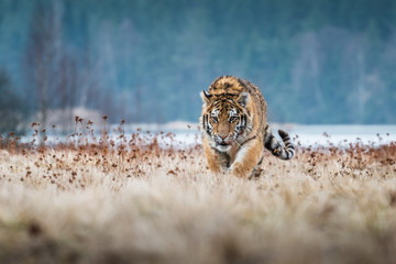 Siberian Tiger running. Beautiful, dynamic and powerful photo of this majestic animal. Set in environment typical for this amazing animal. Birches and meadows 壁紙(ウォールミューラル)