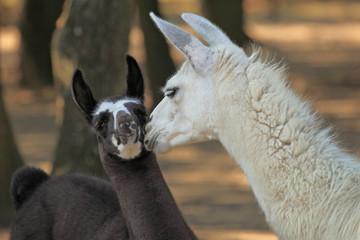 lama blanc et son petit