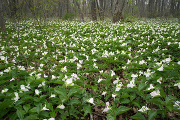 Spring Landscape Background. Field of wild trillium carpet the forest floor. Trillium are the official wildflower of Ontario and Ohio.