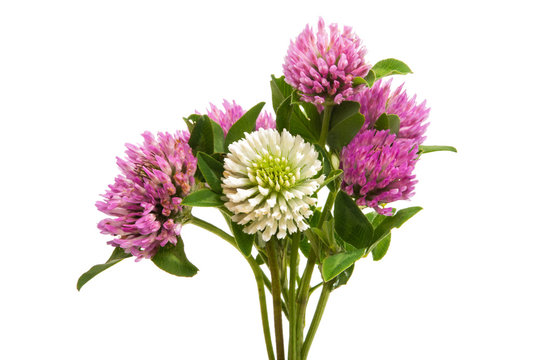 clover flower isolated