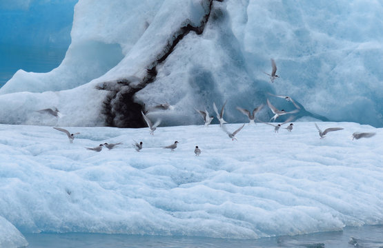 Flock of birds on the ice surface at Jokulsarlon Glacier Lagoon, Ring road, Iceland