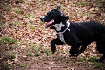 Running Cocker Spaniel