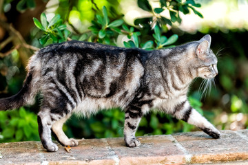 Stray tabby fur striped cat side closeup with green plants in garden walking on street brick railing in Perugia, Umbria Italy park