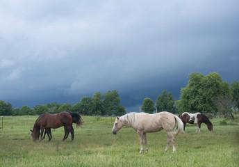 Fototapeta horses in the field