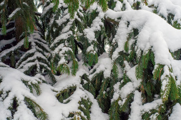 Winter forest, Christmas tree, fir tree, the paws, branches