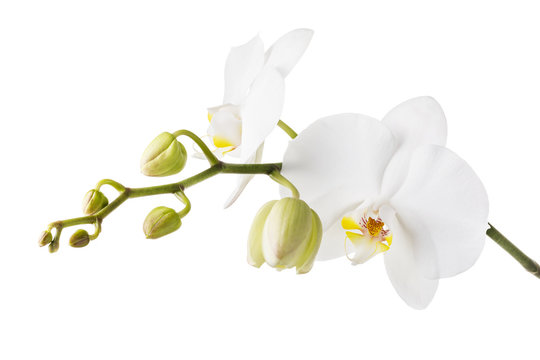 Blooming white orchid isolated from the background. Branch of beautiful blooming flowers close-up